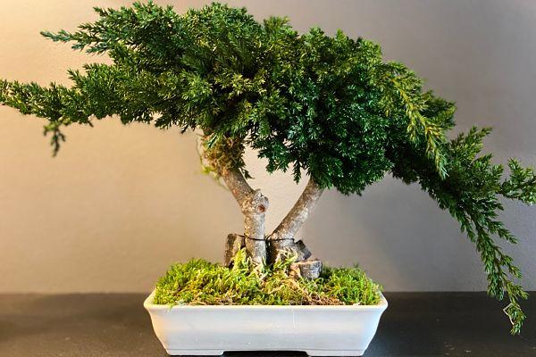 bonsai végétalisé
